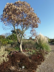 Eucalyptus in the dry garden