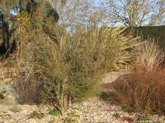 Sophora in the dry garden