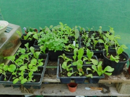 Pak choi pricked out in the polytunnel at home